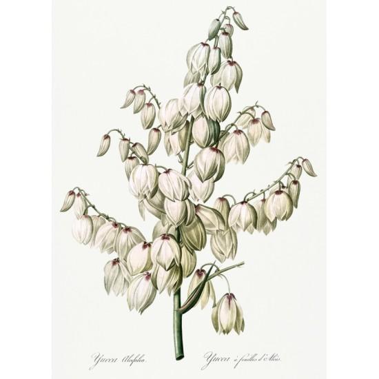 Acanthometra–Stachelstrahli...